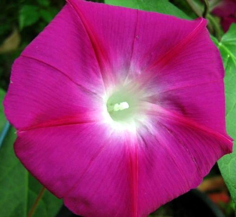 Crimson Rambler Morning Glory 30 Seeds -UNTREATED/FRESH