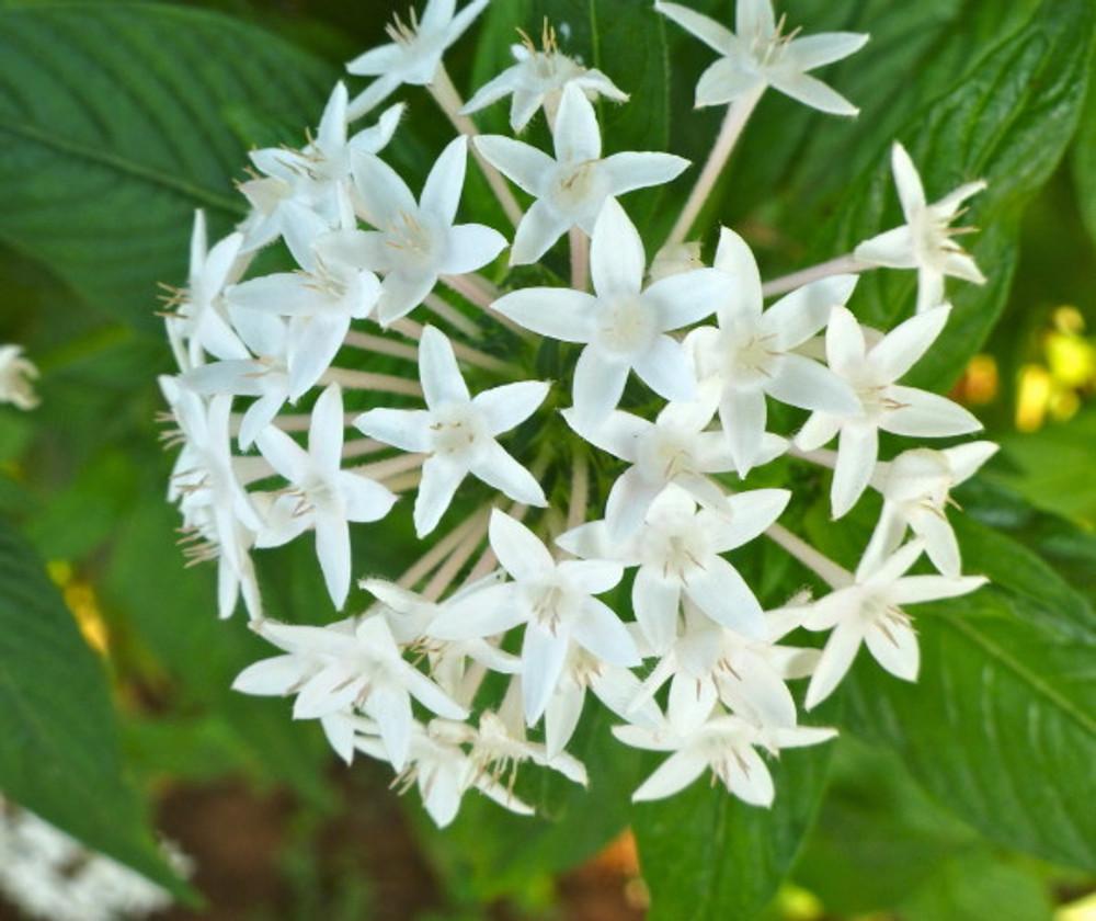 Pure White Egyptian Star 10 Seeds - Pentas - Annual