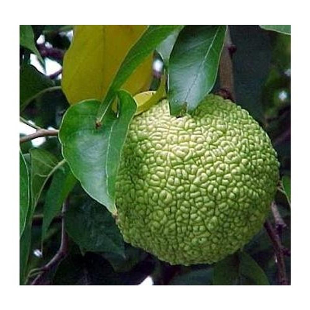 Osage Orange-Monkey Balls-Horse Apple - 6 SEEDS for planting