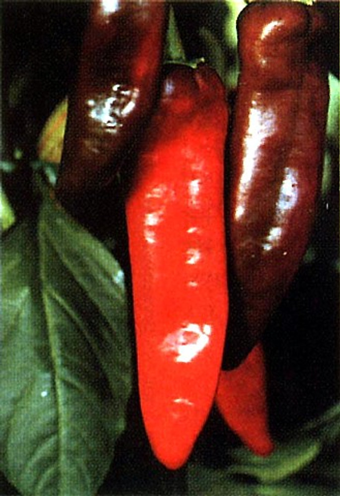 NuMex Big Jim Chili Pepper 30 Seeds - 12 Inches Long!