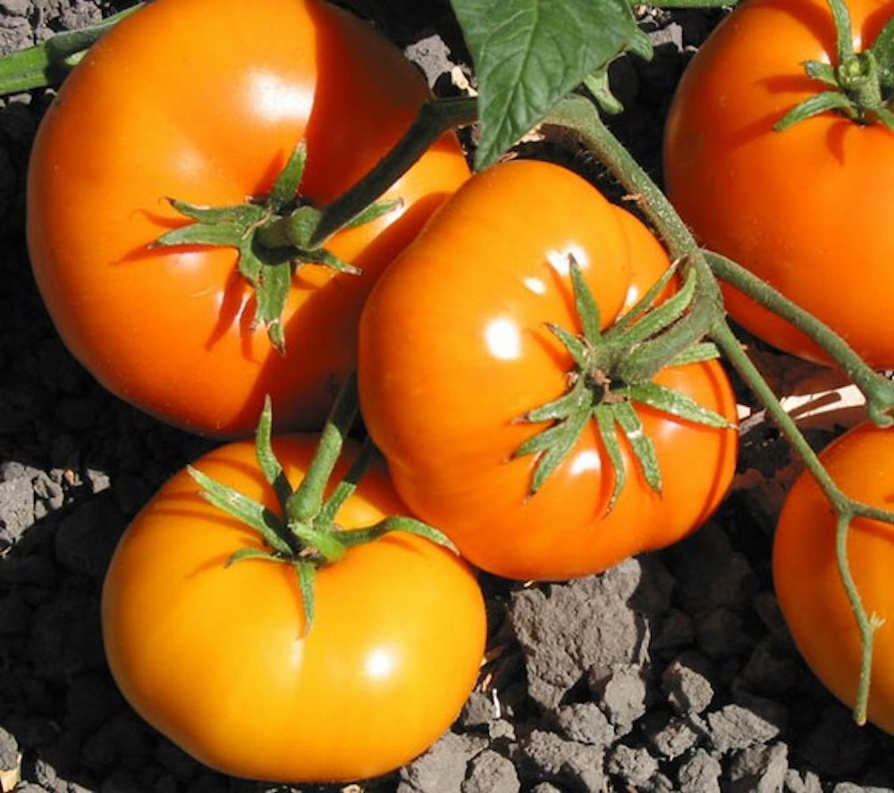 Carolina Gold Tomato - 20 Seeds - F1 Hybrid