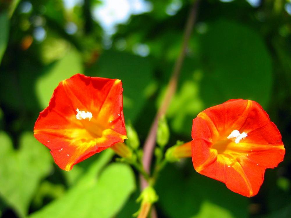 Sunspots Miniature Morning Glory Vine 25 Seeds - RARE