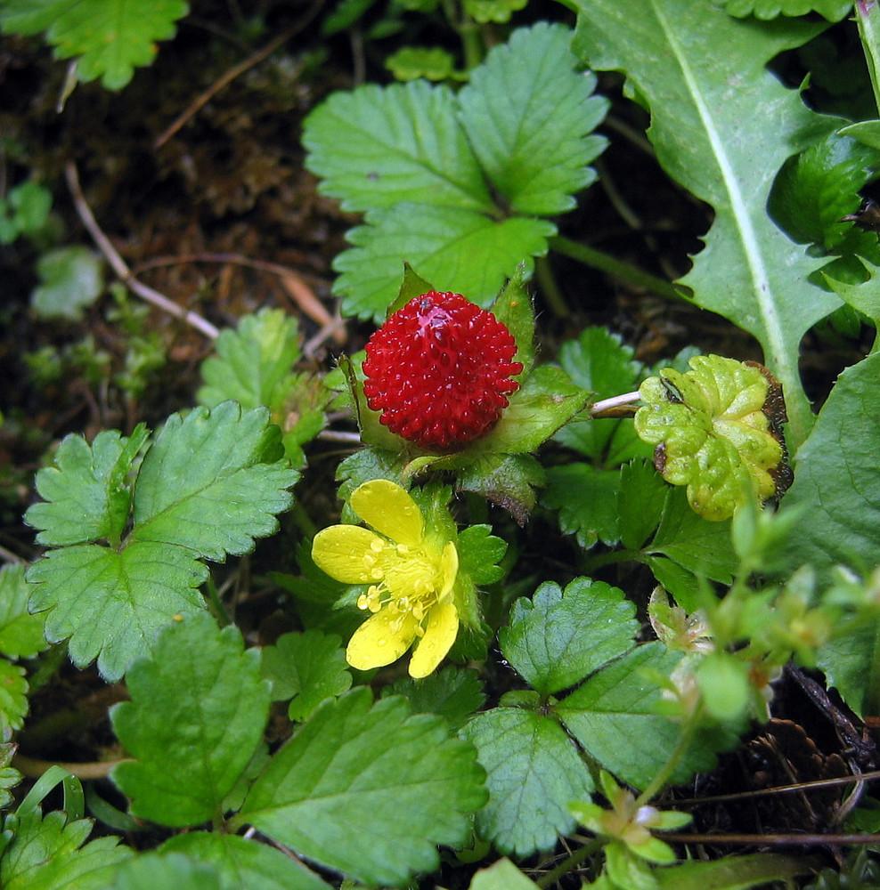 Indian Strawberry 50 Seeds - Duchesnea indica