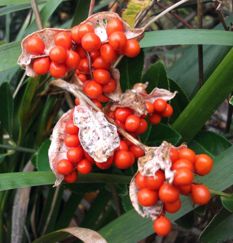 Coral Iris Foetidissima 10 Seeds - Perennial