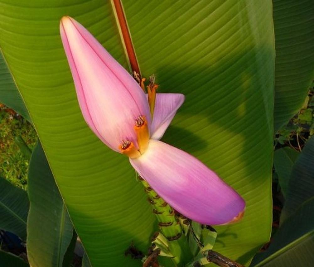 Pink Flowering Banana 5 Seeds - Musa violacea