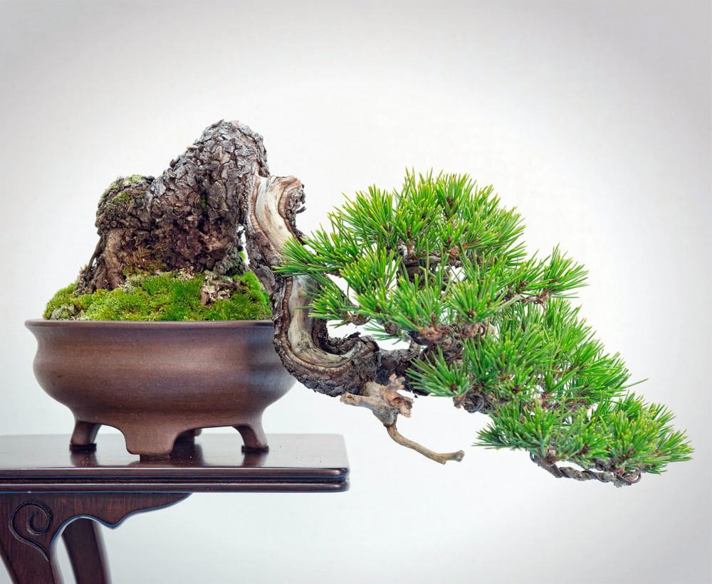 Japanese Red Pine 40 Seeds-Pinus densiflora-Bonsai