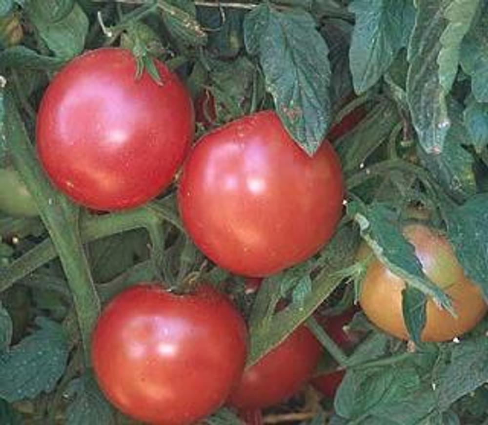 20 Seeds Purple Cherry Tomato Garden Organic Heirloom Fruit Vegetable Plant