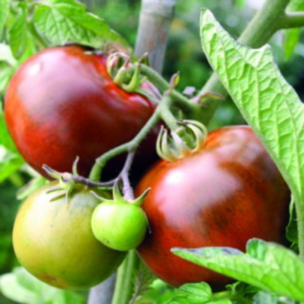 Black From Tula Tomato 30 Seeds - Russian Heirloom