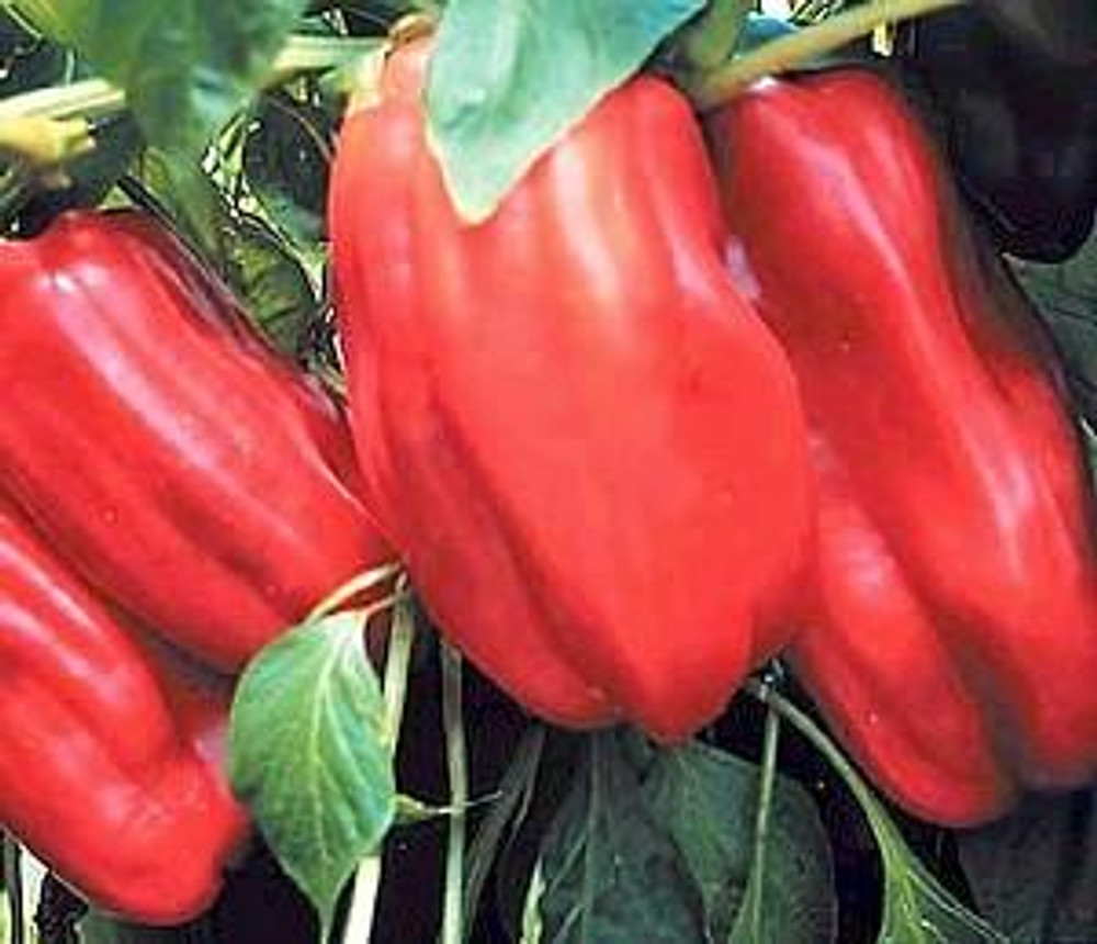 Sweet French Vidi Pepper 20 Seed/Seeds - French Hybrid