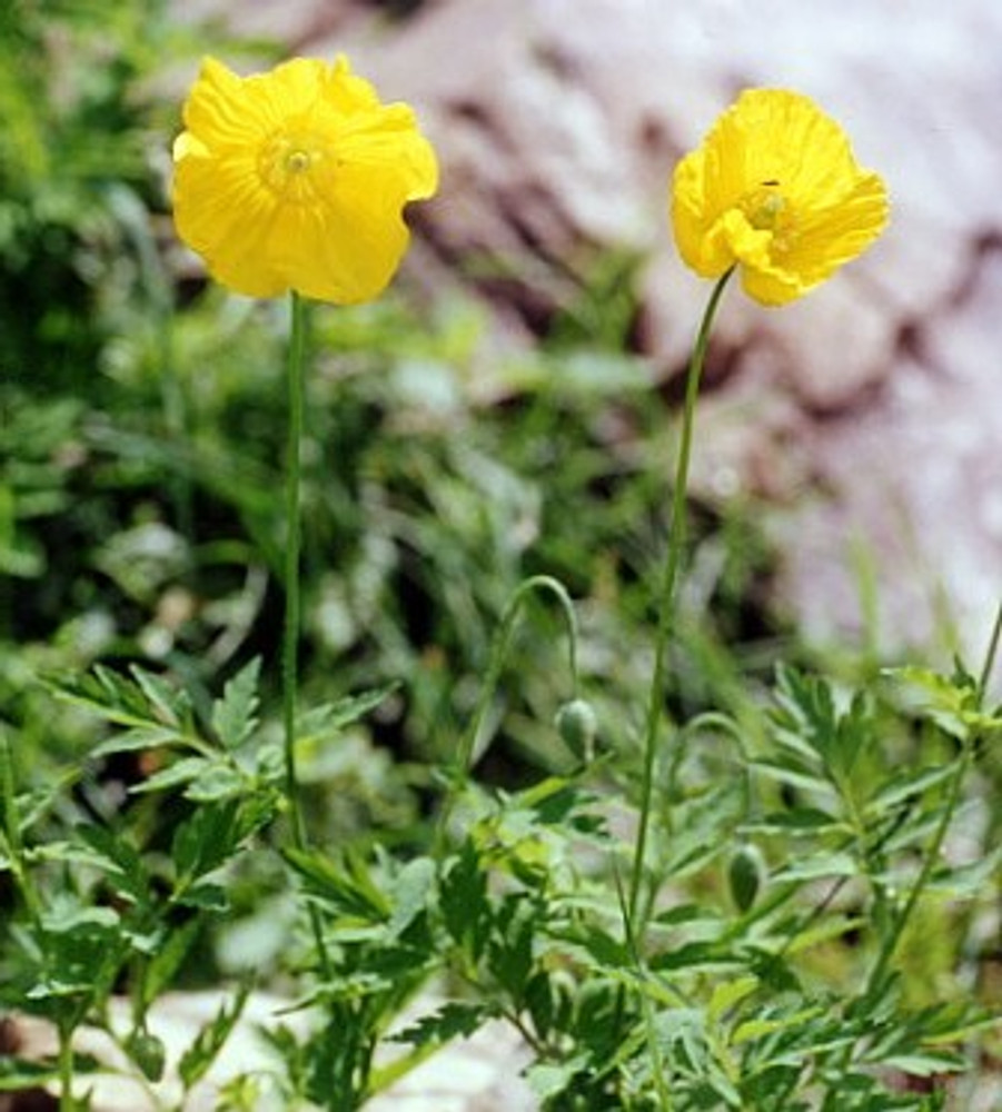 Golden Welsh Poppy 30 Seeds - Meconopsis cambrica