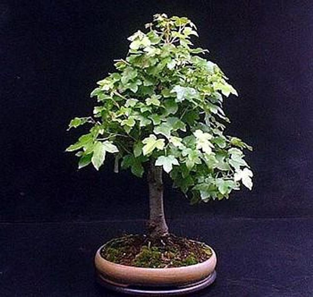 Sweet Gum Tree 7 Seeds Liquidambar Bonsai Hirt S Gardens