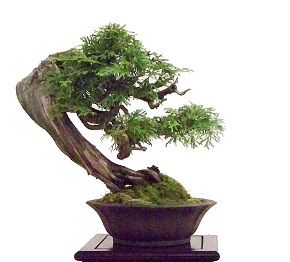Port Orford Cedar Tree 25 Seeds Evergreen Tree Bonsai Hirt S Gardens