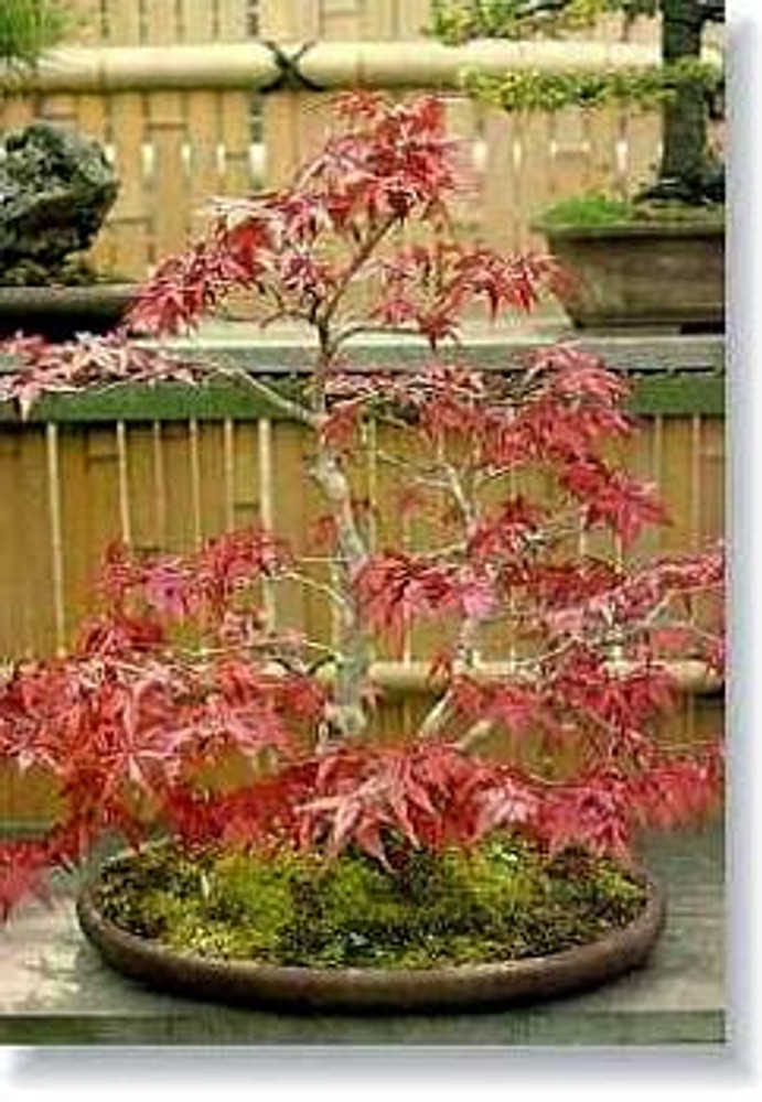 Burgundy Lace Japanese Maple 7 Seeds - Acer - Bonsai