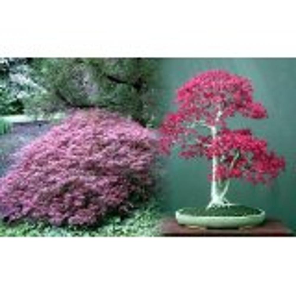 Ornatum Japanese Maple 5 Seeds - Acer - Bonsai