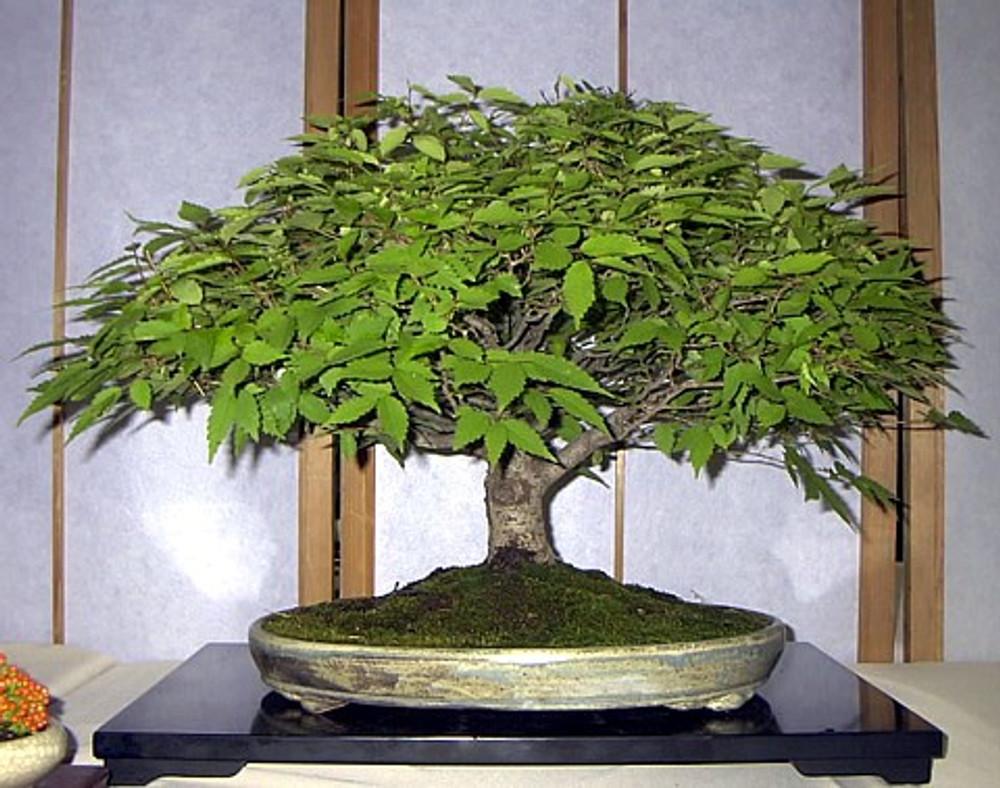 Japanese Zelkova Bonsai - 25 Seeds