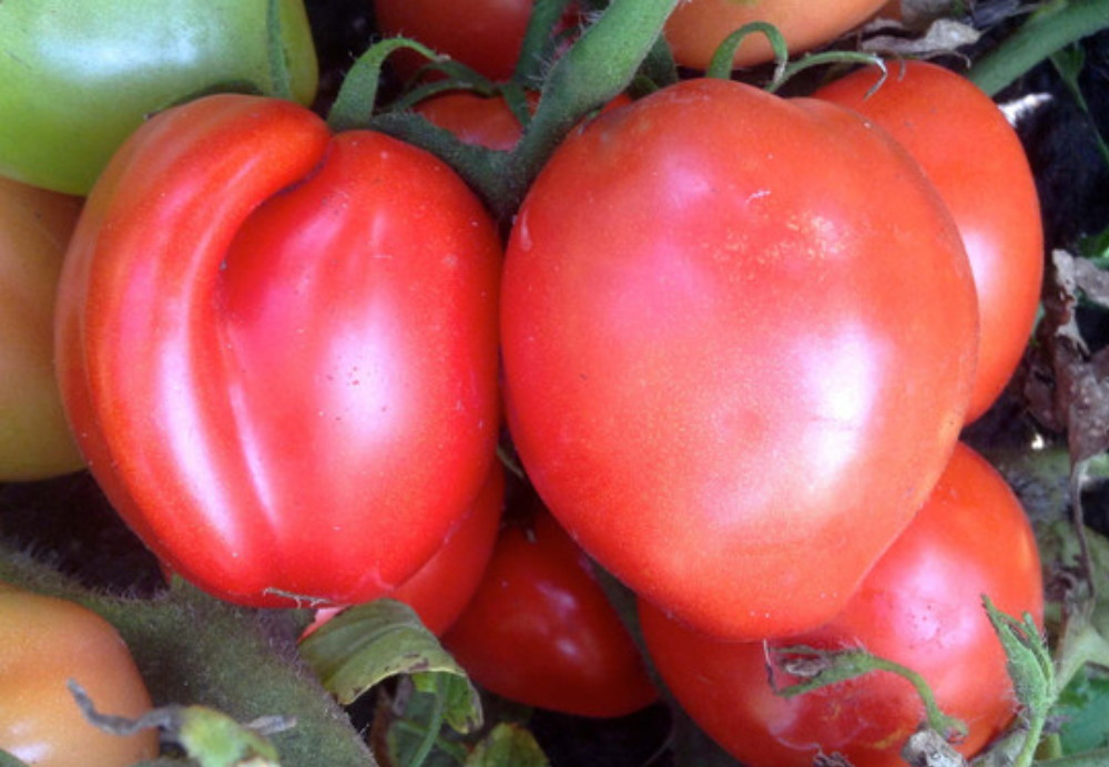 Bellstar Tomato - 20 Seeds - Early Plum