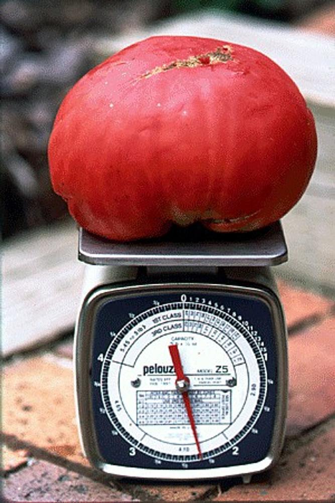 Humongous Mong Tomato 15 Seeds - Heirloom - RARE!