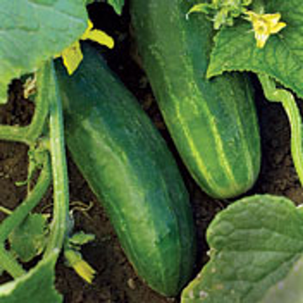 Organic Straight Eight Cucumber - 150 Seeds, 4g