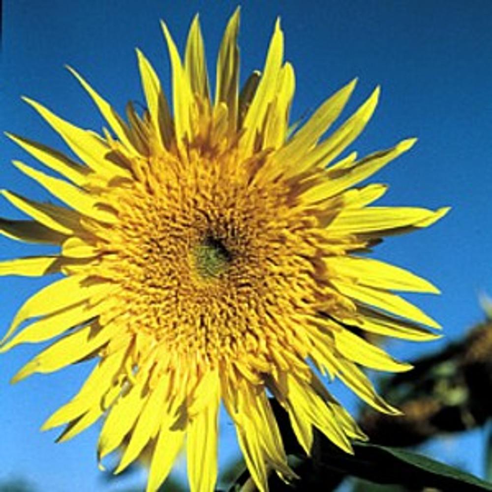 Starburst Aura Sunflower 25 Seeds - NEW! Superstar
