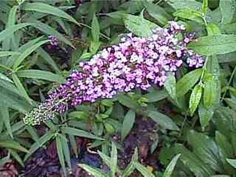 Purple Butterfly Bush 50 Seeds - Buddleia - Perennial