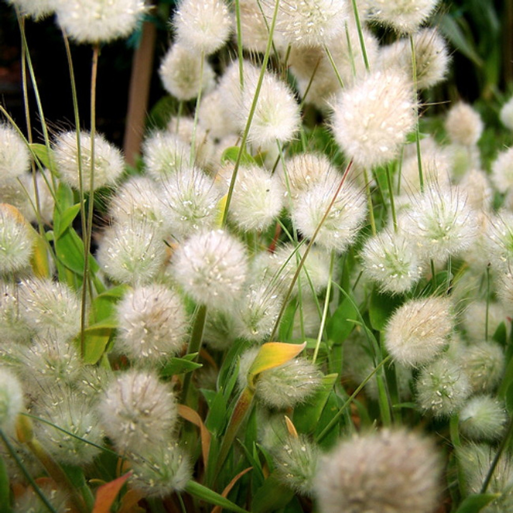 Bunny Tails Ornamental Grass - 20 Seeds, 250 mg