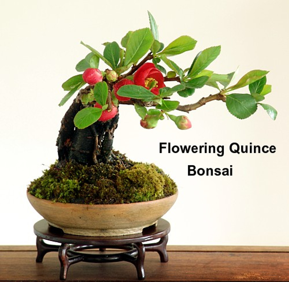 Japanese Flowering Quince 20 Seeds - Chaenomeles