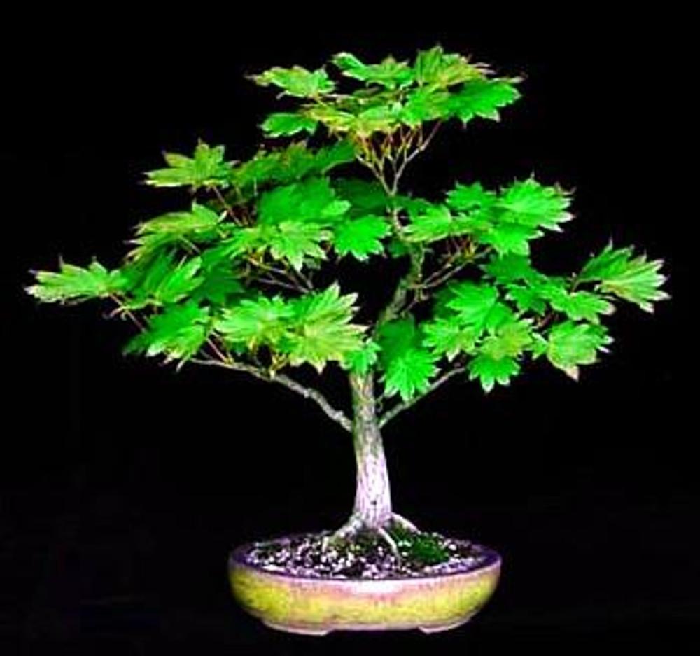 Meigetsu Japanese Maple 7 Seeds - Acer - Bonsai