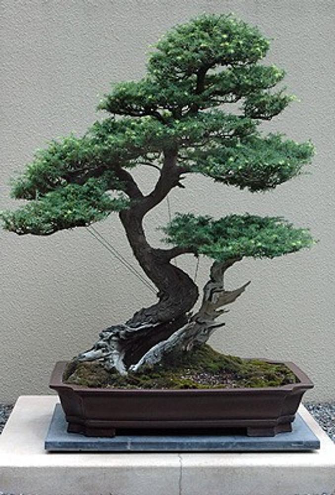 Western Hemlock 50 Seeds - Tsuga - Shrub/Tree/Bonsai