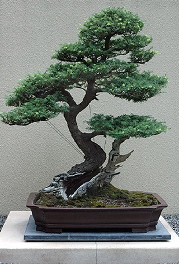 Western Hemlock 50 Seeds Tsuga Shrub Tree Bonsai Hirt S Gardens