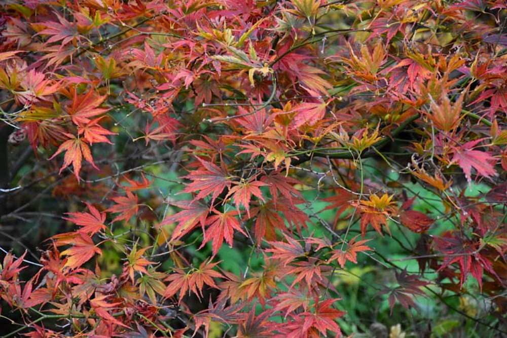 Kinran Japanese Maple 5 Seeds - Acer - Bonsai