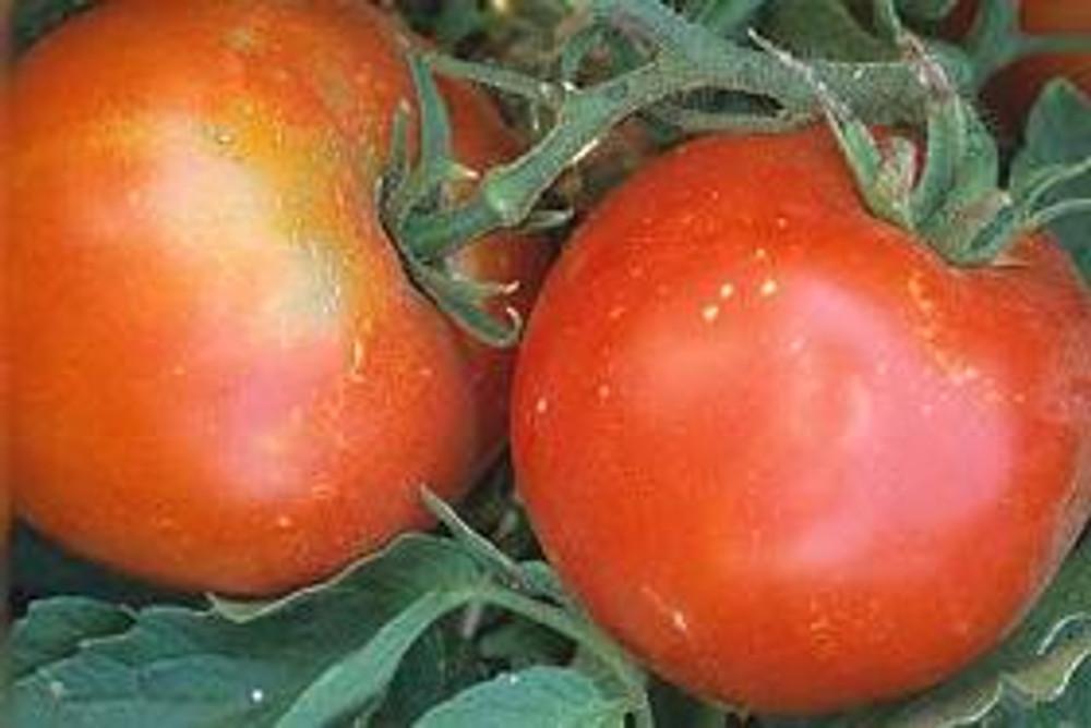 Tropic Tomato - 20 Seeds - Heat Tolerant