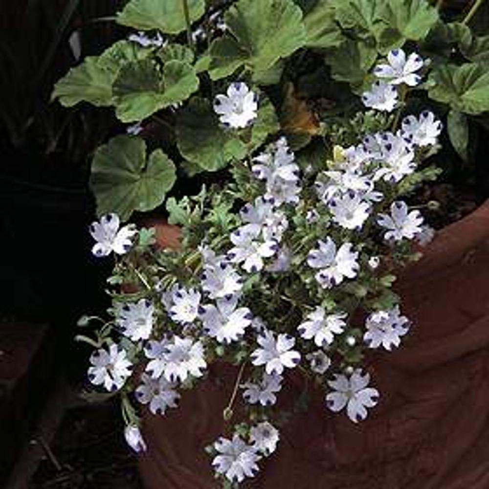 Nemophila Five Spot 300 Seeds - Annual