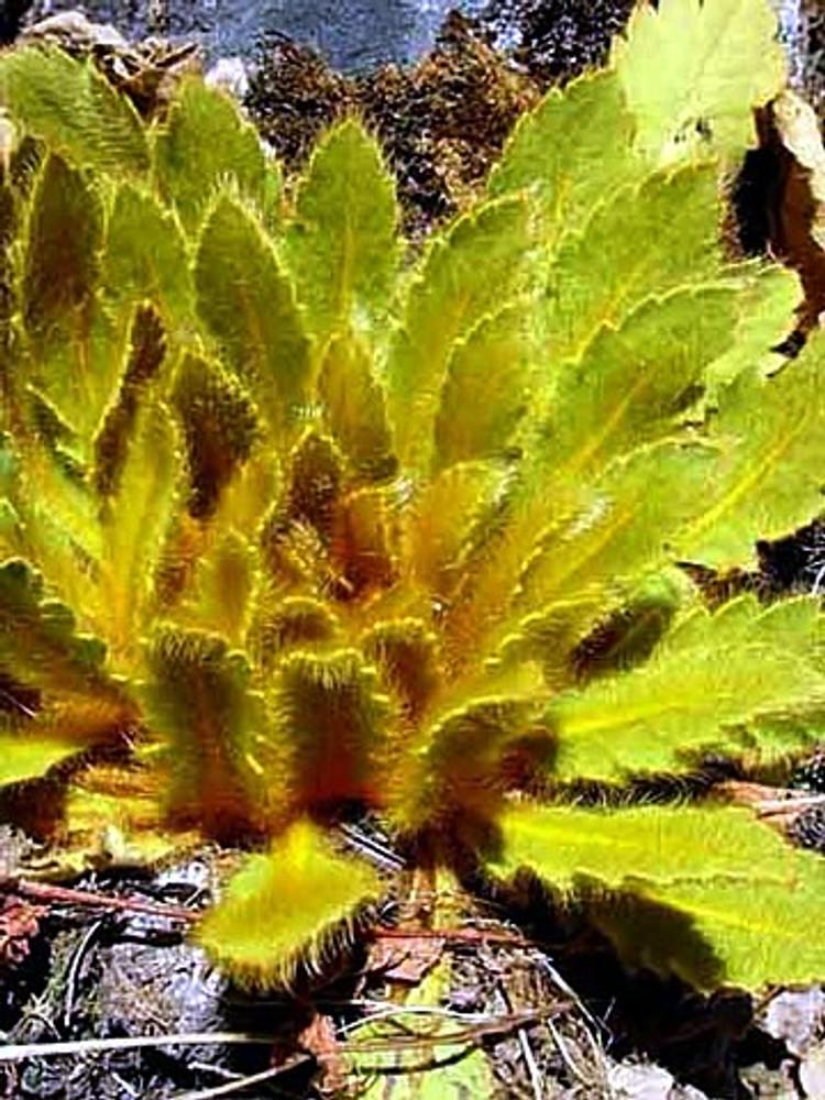 Bronze Leaf Himalayan Poppy 20 Seeds - Meconopsis
