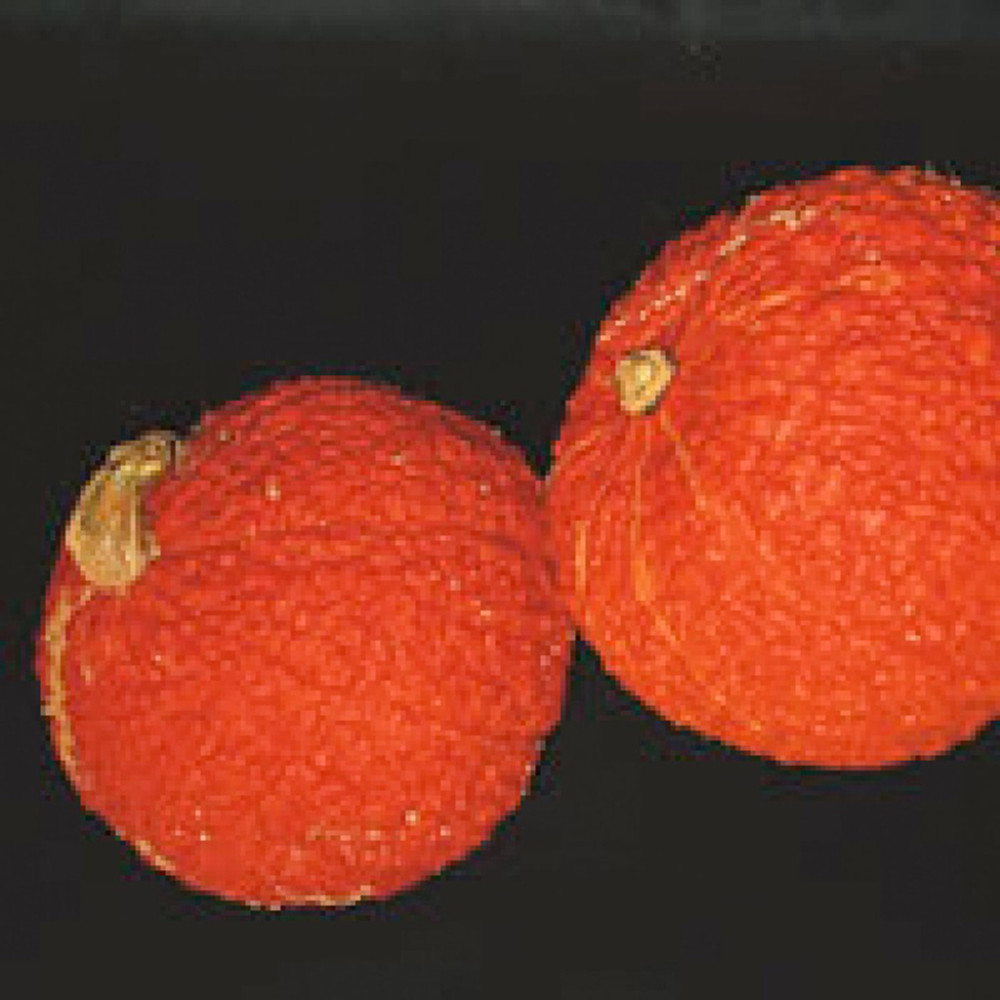 Red Warty Thing 10 Seeds - Squash or Gourd
