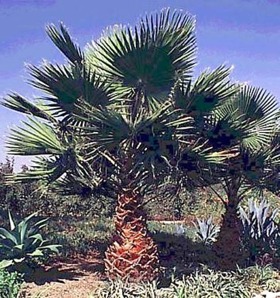 Washington Palm 10 Seeds - Washingtonia