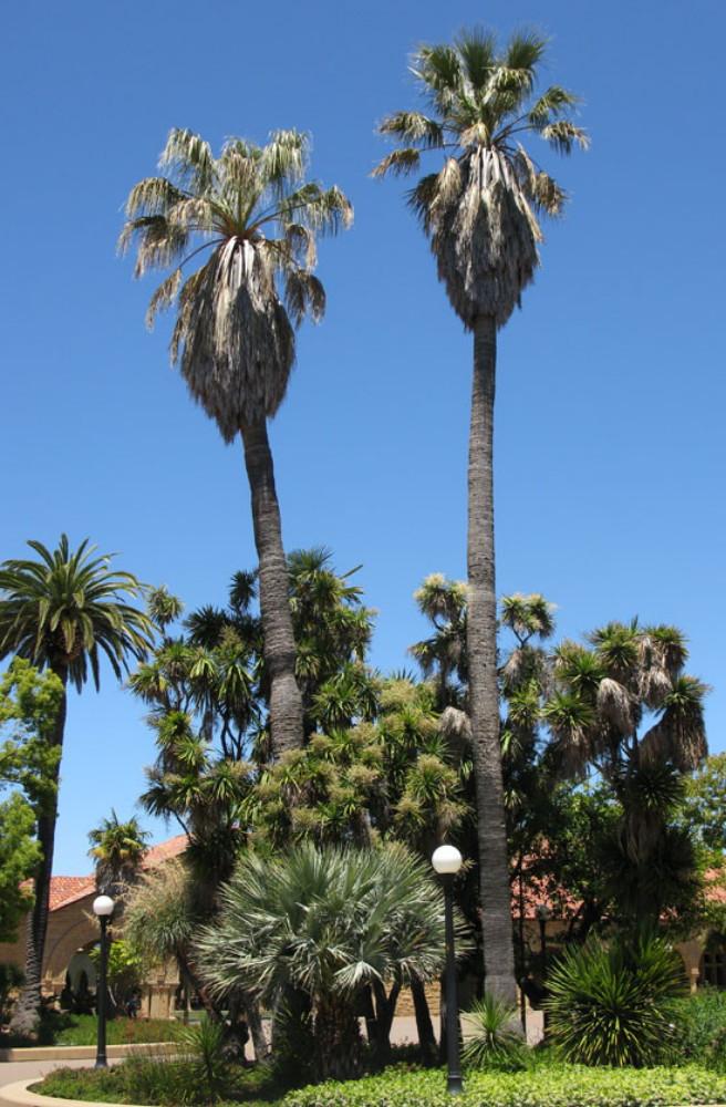 California Fan Palm 10 Seeds - Washingtonia
