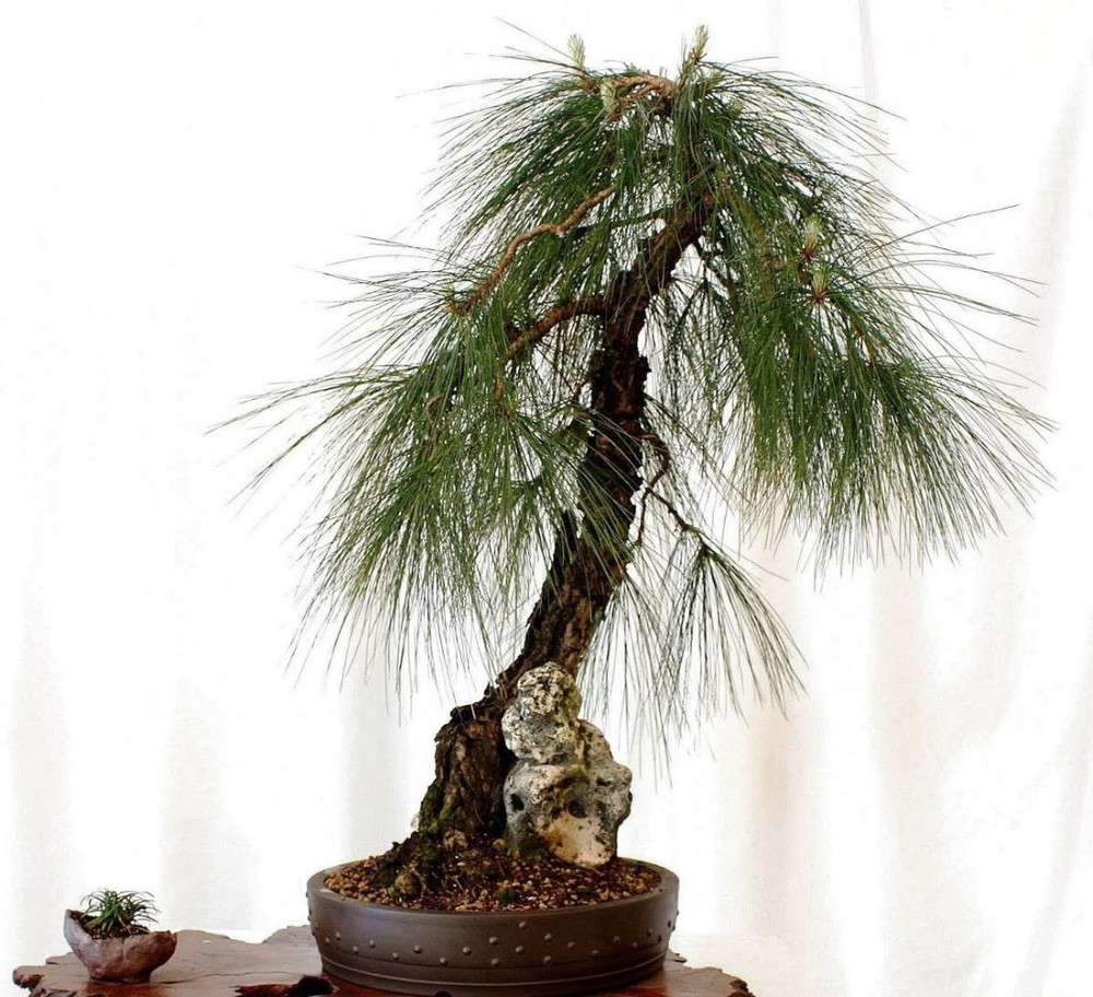 Mexican Weeping Pine 20 Seeds - Pinus patula - Bonsai
