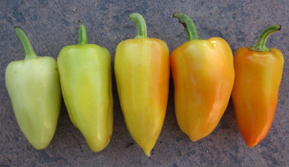 Antohi Romanian Pepper - 20 Seeds - Heirloom