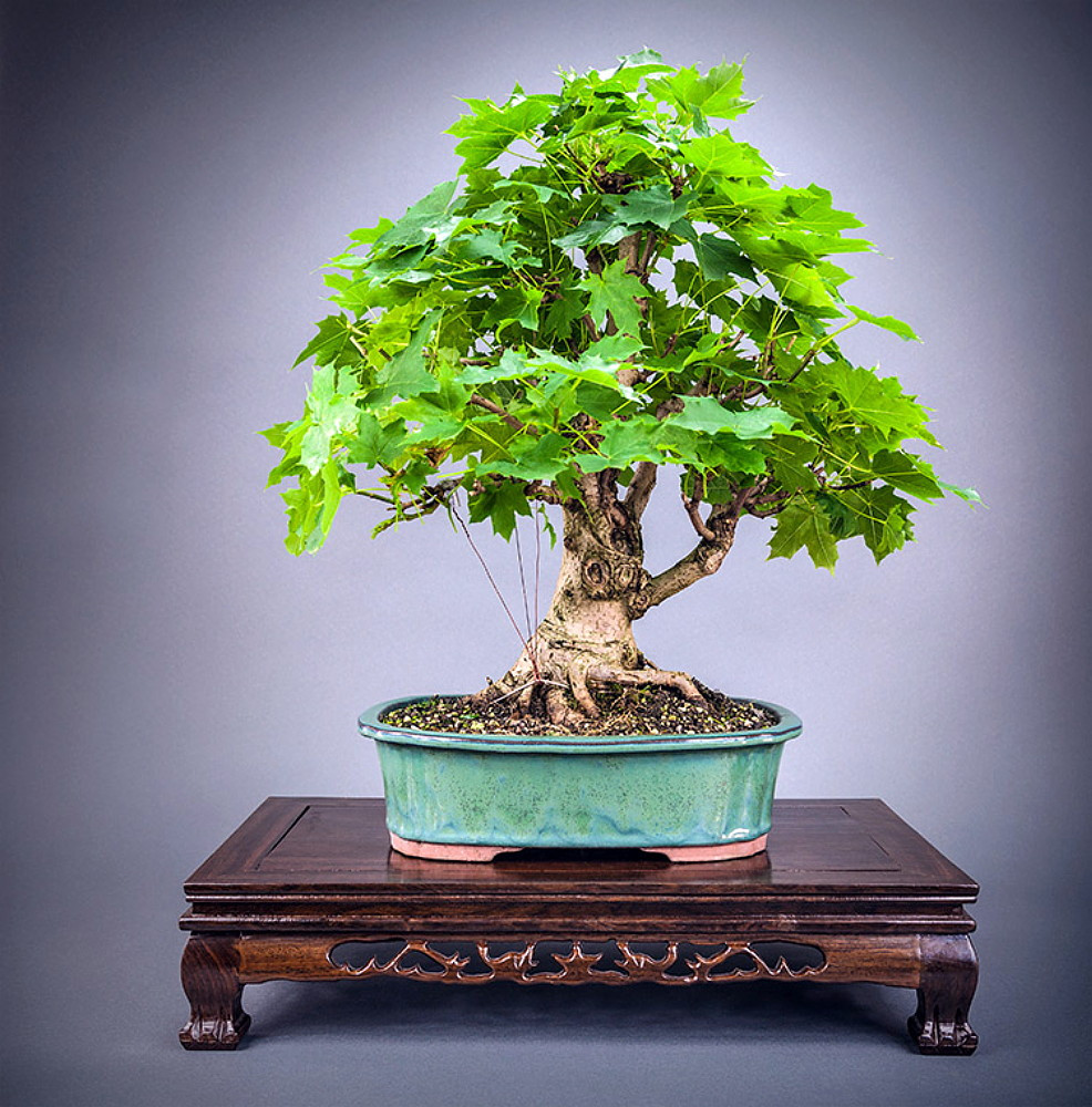 Norway Maple 20 Seeds - Acer platanoides -Shade /Bonsai