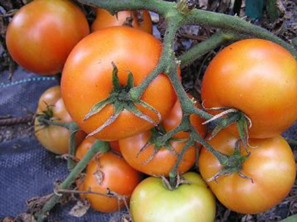 Mountain Princess Tomato - 20 Seeds - Bright Red