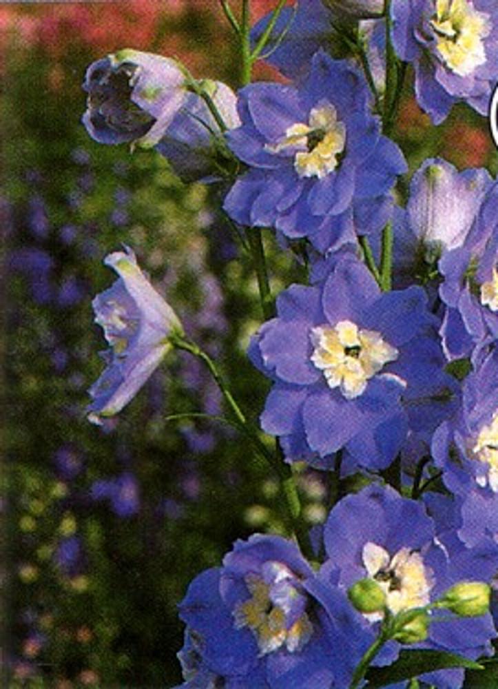 Giant Summer Skies Delphinium 50 Seeds