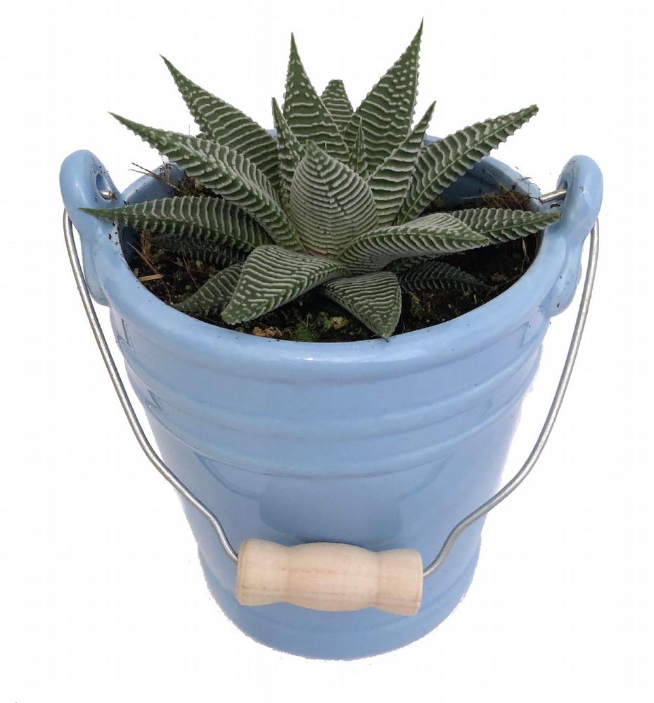 """Blue Ceramic Pail Planter with Live Succulent Plant - 3.25"""" x 4.25"""