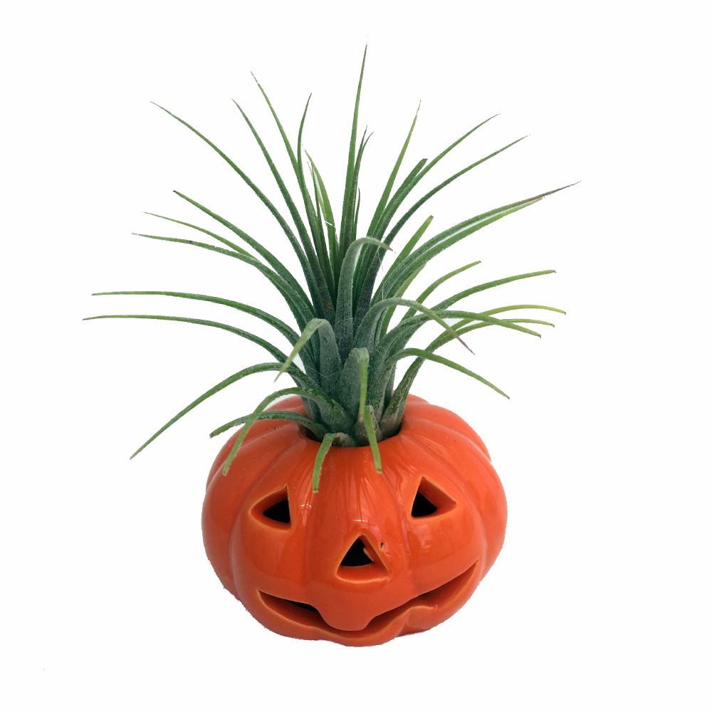 Ceramic Pumpkin Planter plus Live Air Plant - Tillandsia