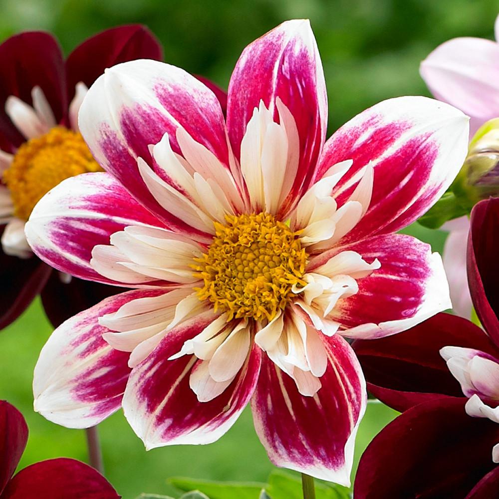 Fashion Monger Dahlia Mignon - #1 Size Clump - Rose, Cream, White