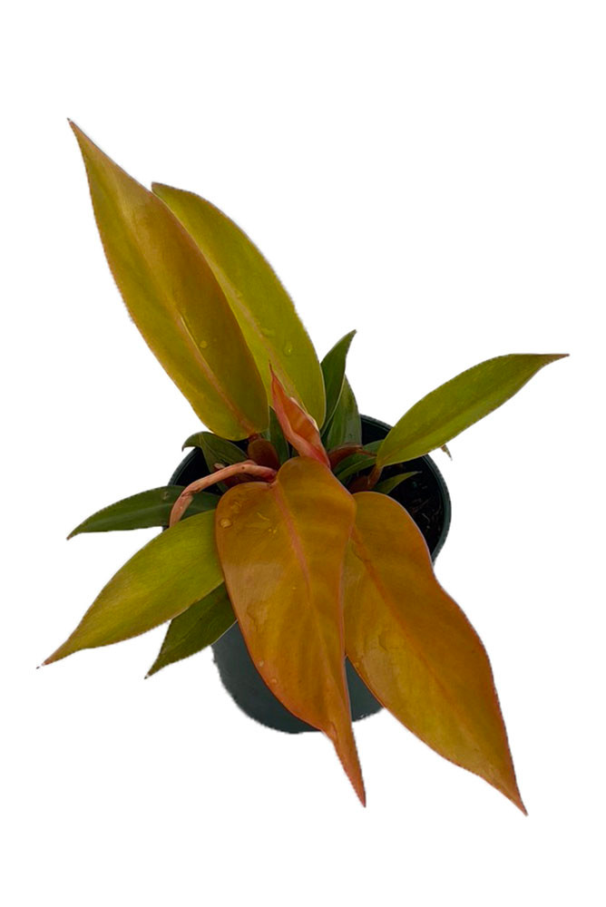 """Prince of Orange Moonlight Philodendron - Easy to Grow - 4"""" Pot"""