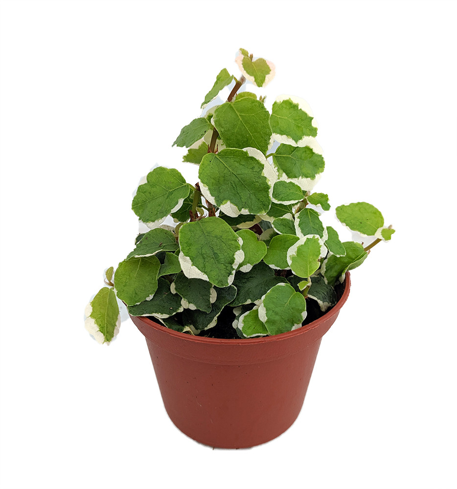 "Creme & Green Creeping Fig - Ficus pumila var- 2.5"" Pot - Terrarium/Fairy Garden"