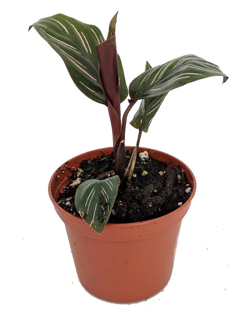 """Pin Stripe Prayer Plant - Calathea ornata - Easy House Plant - 2.5"""" Pot"""