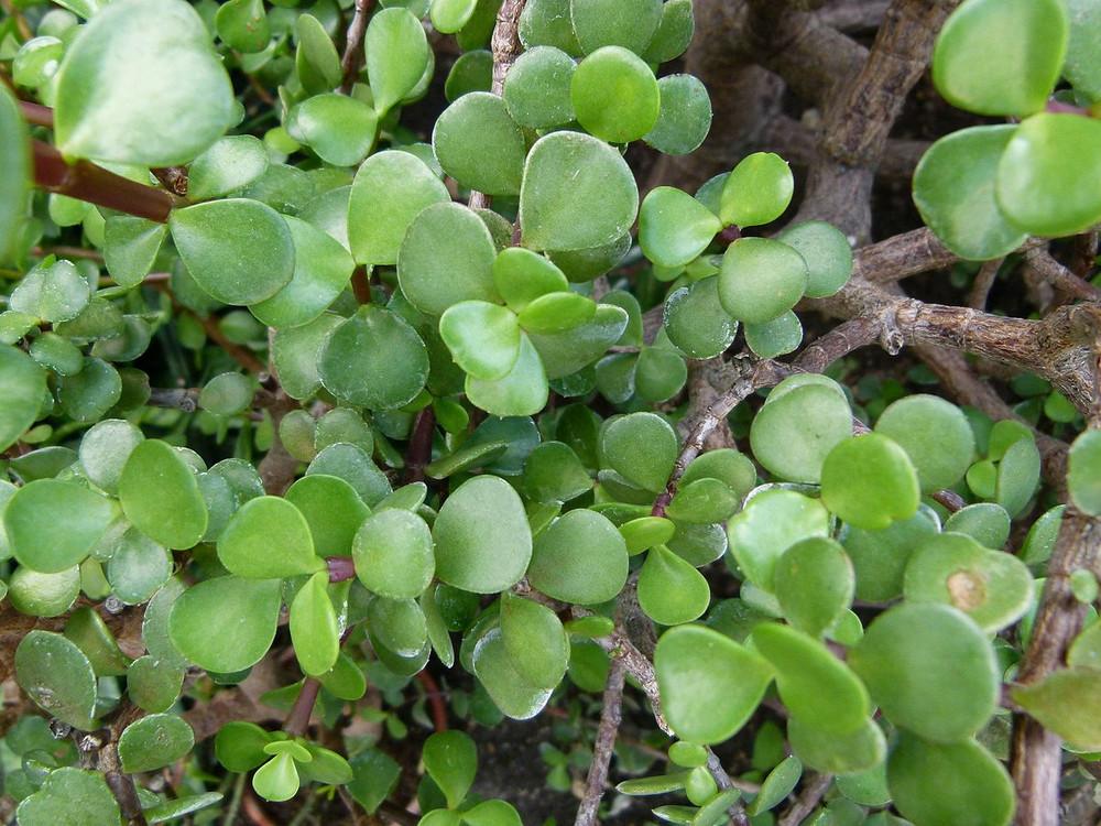 "Spekboom Miracle Plant - Mini Jade - Portulacaria afra - 2.5"" Pot"