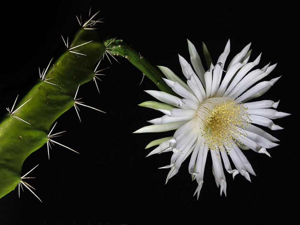 """Night Blooming Cactus - Acathocereus tetragonus - 2.5""""  Pot"""