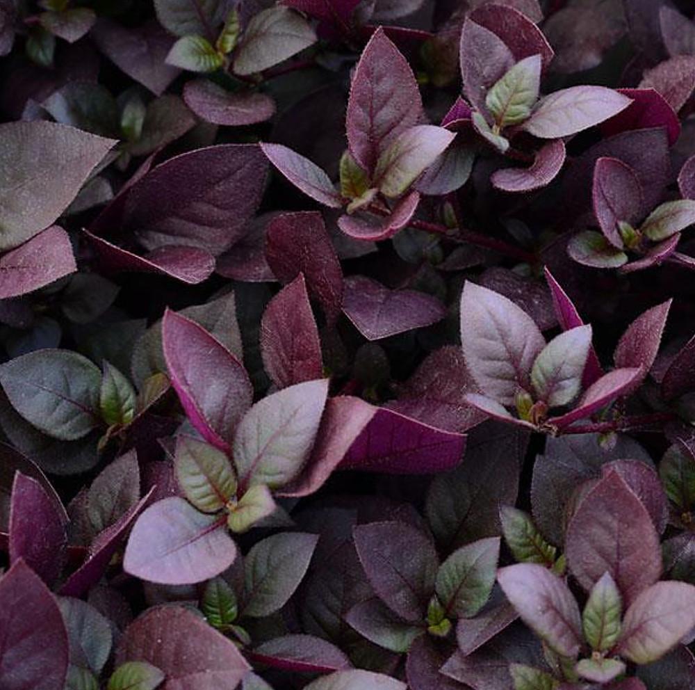 "Biblical Purple Prince St. Joseph's Coat Plant - Alternanthera - 2.5"" Pot"